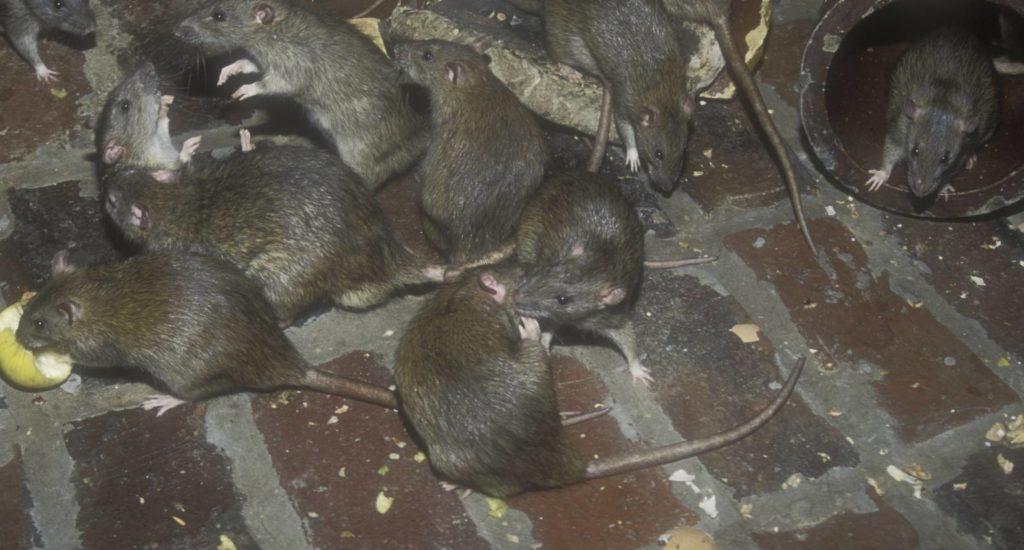 уничтожение крыс в Одессе